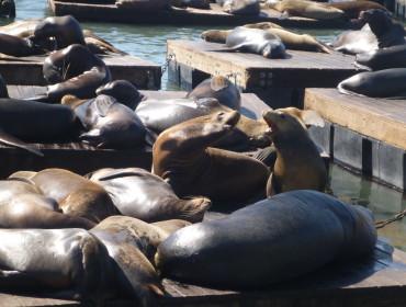 Så ligger de bare der, og plasker i vandet når de lyster. Nogle gange er de 300, rekorden er dog 1700....