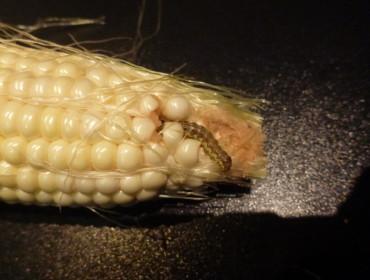 Man skal liiiige kigge sig lidt for inden man koger sine majs.