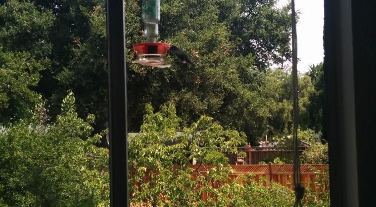 Kolibrien hænger stadig ud ved krydderurterne