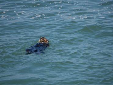 Åhh de søde små oddere putter sig rigtig i vandet.