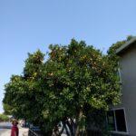 Appelsintræer